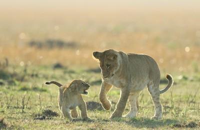 Lion Cub Warning, Devine  Bob , England