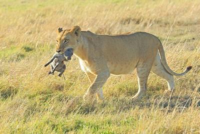 Lion Takes Hoglet To Cubs, Devine  Bob , England