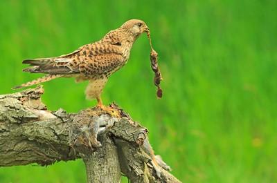 Kestrel Eating Squirrel, Devine  Bob , England