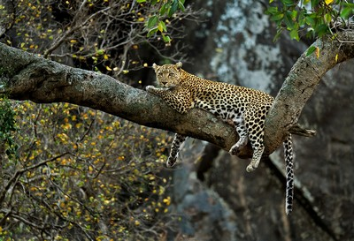 Leopard In Autumn, Shanbhag  Pramod Govind , India
