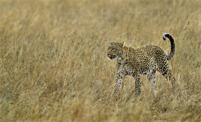 Leopard In Grassland, Shanbhag  Pramod Govind , India
