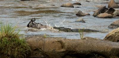 Crocodile Gets Meal, Shanbhag  Pramod Govind , India