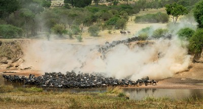 Wildebeests And Dust, Shanbhag  Pramod Govind , India
