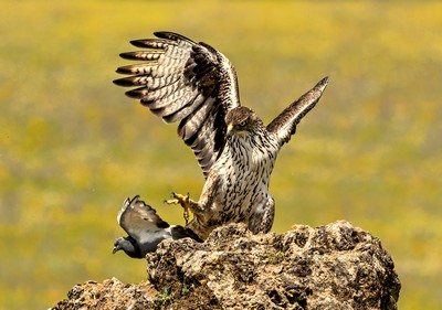 Bonelli Eagle Catches Pigeon, Boytell  Kerry , Australia