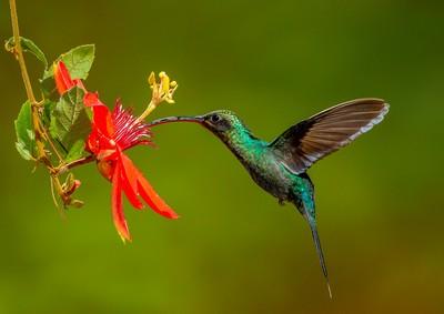 Hummingbird Feeding, Boytell  Kerry , Australia