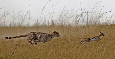 Cheetah Hunting Gazelle, Kaeding  Wolfgang , Germany