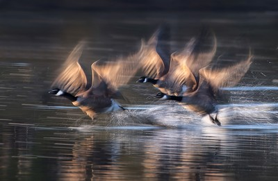 Canada Geese Taking Off 4, Luo  Robin , Canada
