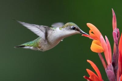 Hummingbird Collect Nectar 7, Luo  Robin , Canada
