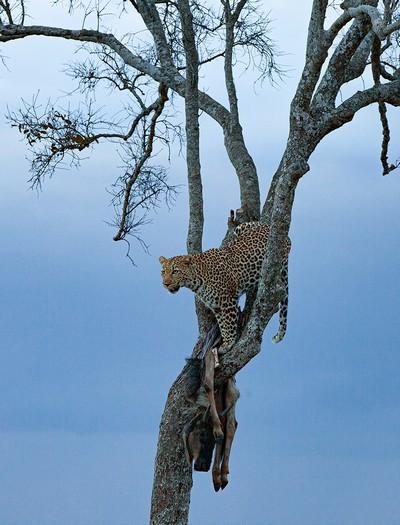 Leopard With Kill On Tree, Rao  Shreyas , India