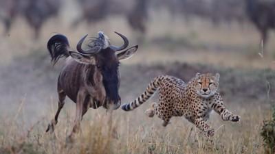 Cheetah Corners The Wildebeest, Rao  Shreyas , India