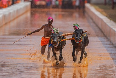 Kambala Charging Trio, Rao  Shreyas , India