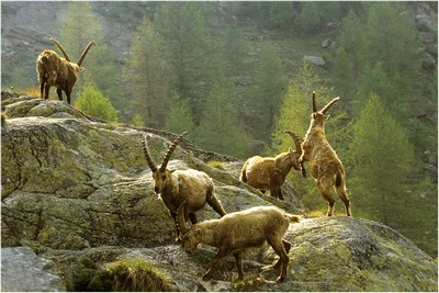 Five Ibex On The Rocher, BACLE  Jean Claude , France