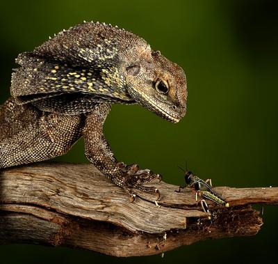 Frilled Dragon With Prey 2, Jenkin  Barbara , United Kingdom