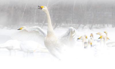 Whooper Swan Family, Poggioni  Angela , USA
