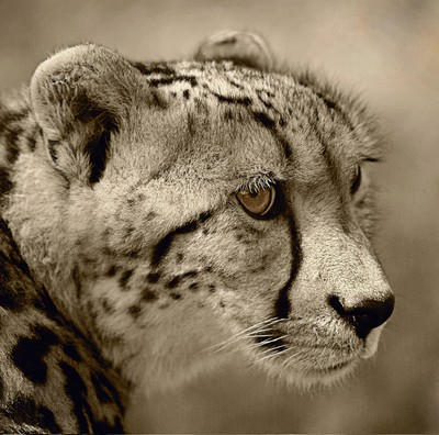 Cheetah 2, Killen  Roy , Australia