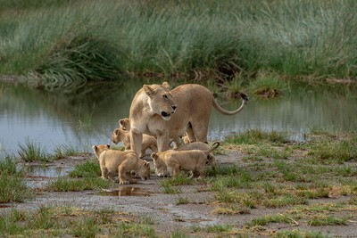 Lioness And Cubs, Tan  Lee Eng , Singapore