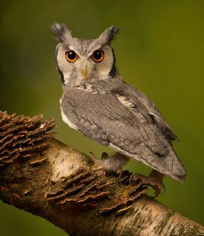 White Faced Owl, Allard  Wendy Anne , England