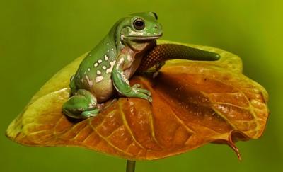 Green Frog On Leaf, Allard  Wendy Anne , England