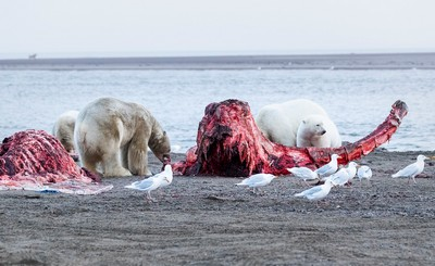 Polar Bear At Carcass 57, Kwan  Phillip , Canada