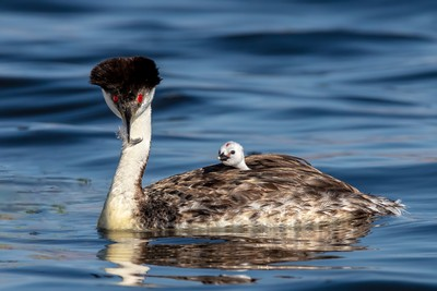 Grebe Chick Sees Feather, Fenwick  Jerry , USA