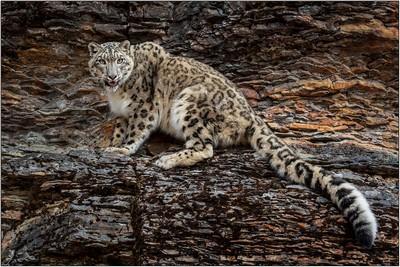 Snow Leopard, DeDonato  Donald , USA