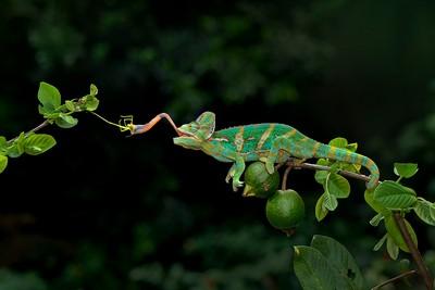 Chameleon 1, Che  Arnaldo Paulo , Hong Kong