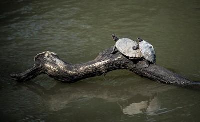 Mating Tortoise, Sarkar  Partha Sarathi , India