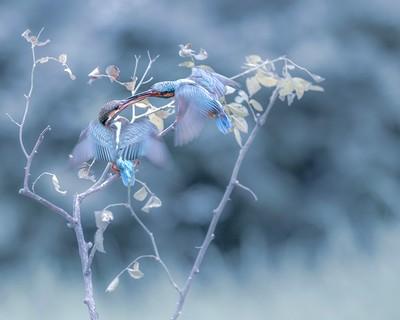 Kingfishers, Tong  Jiangchuan , China