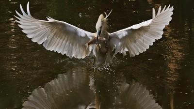 Pond Heron Catch 16, CHAUDHURI  ASIM KUMAR , India