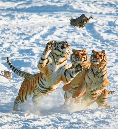 Tiger Eating 7, YE  WEI , China
