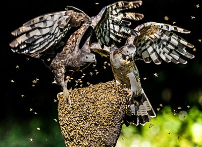 Bee Eagle Fighting A, Huang  Woodpecker , Taiwan