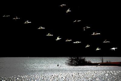 Snow Geese Flying, Ng  Michael , USA