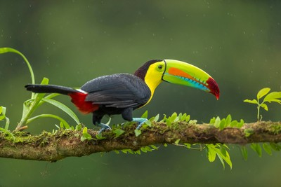 KEEL BACK TOUCAN, C R  SATHYANARAYANA , India
