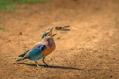 INDIAN ROLLER CATCHING THE FEED, C R  SATHYANARAYANA , India