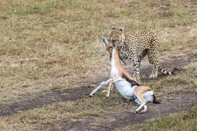 Cheetah Drag, JOSHI  RAGHAVENDRA , India