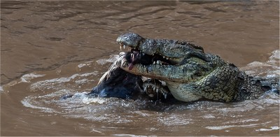 CROCODILES COMPETE FOR FOOD 4, JOUBERT  STEYN , South Africa