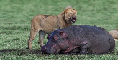HIPPO AND LION THE FIGHT IS NOT OVER, JOUBERT  STEYN , South Africa
