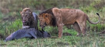 LIONS MUDDY CATCH 3, JOUBERT  STEYN , South Africa