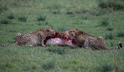 Cheetahs With Kill 01, DUTTA  CHINMOY , India