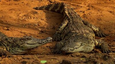 Crocodiles, DAS  ROHIT , India