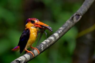 Oriental Dwarf Kingfisher With Kill, Reddy  Neelima , India