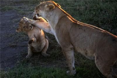 Teach The Little Lion A Lesson, Li  Tingting , China